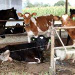 SAG Lanza Programa Especial para Erradicar la Brucelosis Bovina en Chile