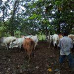 MIDA de Panama Cumple con las Normas de Salud Animal Realizando Muestreos para Diagnóstico de Brucelosis y Tuberculosis