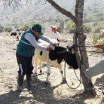 MINAGRI Atiende a Ganado Bovino, Caprino y Ovino de Centro Poblado Trujillano Collambay