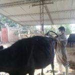 SENASAG Controla la Brucelosis Bovina en Bolivia