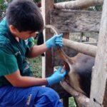 Refuerzan Monitoreo en Ucayali para Identificar Casos de Brucelosis Bovina