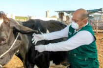 Se Registra más de 3 mil Animales Vacunados Contra el Ántrax en Áncash