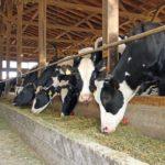 Investigación del INTA Evalúan la Alimentación Bovina con Cebada Como una Herramienta para la Planificación Forrajera