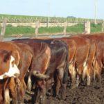 Carne Argentina, Entre la Recuperación y el Impacto Ambiental