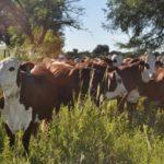 Especialistas del INTA Analizan cómo Asegurar la Sustentabilidad de Pastoreo más Eficiente Reduciendo Hasta un 18 % la Huella de Carbono