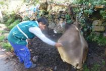 Senasa Supera Vacunación de 26 mil Bovinos en Apurímac para Prevenir Carbunco Sintomático