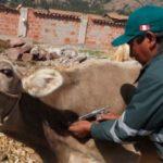Senasa Alcanza Vacunación de 53.495 Vacunos en Zonas Vulnerables de Puno