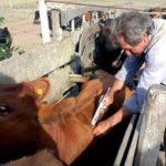 En Paraguay Fijan Plazo para Vacunar Contra la  Fiebre Aftosa y Brucelosis