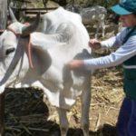 Piura: MINAGRI Proyecta Vacunación de Mil Bovinos en Prevención Contra la Rabia