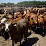 Argentina: Inteligencia Artificial ya Permite que las Vacas se Pesen Solas