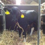 Nuevos Procedimientos de Prueba Salvarán a las Vacas Lecheras de Mycoplasma Bovis en Europa