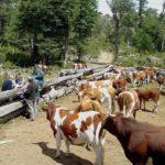 SAG Lanza Programa en Chile para Monitorear Situación Sanitaria de Bovinos y Ovinos