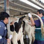 Cajamarca: Monitoreo Serológico para Descarte de Brucelosis Bovina