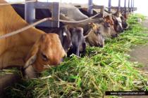 Pasto Tifton, alternativa nutricional para reses del Valle