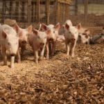 Identifican más de 400 genes que tienen resistencia a antibióticos en granjas europeas
