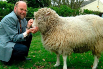Lana de oveja, materia prima para crear plásticos biodegradables