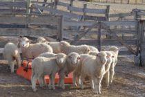 Cómo Diseñar Dietas más Eficientes para los Corderos