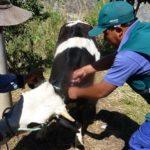SENASA y DRAA en Acción Cívica Atiendiendo 1200 Animales de Producción en Ayacucho