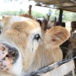 Brasil Emitió Nueva Normativa para Exportación de Ganado en Pie