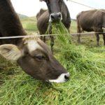Minagri: 20.000 Cabezas de Ganado Tendrán Alimento Oportuno con Siembra de 100 Hectáreas de Pasto en Tumbes