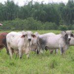 Costa Rica Toma Medidas Sanitarias por Casos de Rabia Paralítica Bovina
