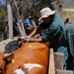 Chile Ejecutará Programa de Desparasitación para 10 mil Cabezas de Ganado Bovino