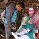Senasa Realiza Monitoreo Serológico para Descartar Brucelosis Caprina en Junín