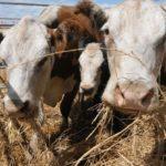 Uruguay También Quiere Llegar a Japón con su Carne