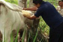 Más 8 mil Animales de Producción Protegidos Contra la Rabia en Ayacucho
