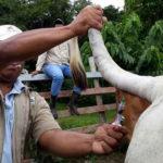 Brote de brucelosis bovina alarma a Panamá