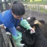 Alerta en Uruguay: Identifican cepas de leptospirosis en ganado vacuno