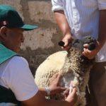 Senasa toma muestras de sangre de ovinos en 6 provincias de Arequipa