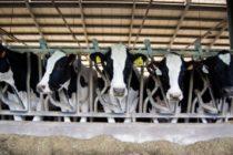 La Alimentación Proteica de la Vaca Lechera de Alta Producción