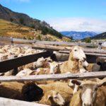 Baño Comunitario de Ovejas en la Región de Aysén - Chile