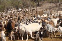 Investigadores Españoles Estudian las Carencias Minerales para Detectar Enfermedades en Cabras