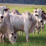 Vacunación y Desparasitación para Ganado Cebú en Pastoreo