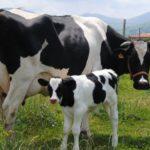 Interacción de la Vaca en Transición y Fertilidad