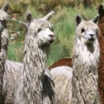 Conoce más sobre la Alpaca y su Importancia para el Perú