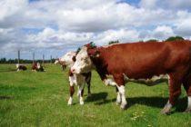 Estudio Revela Posibles Escenarios de la Industria de Carne Bovina y Ovina de Chile al 2030