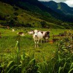 Ganadería en el Perú: El Importante Desarrollo Ganadero