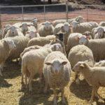 Nuevo Protocolo de Reproducción para el Ganado Ovino