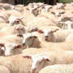 En busca de una raza de ovinos libre de parásitos en Latinoamérica y el Caribe