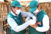 Senasa vacunará 1.574.000 aves contra Newcastle