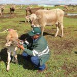 Senasa Atiende a Población Animal Afectada por Lluvias en Puno