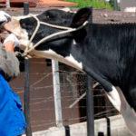 Programan Vacunación Obligatoria Contra Fiebre Aftosa
