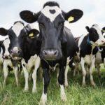 Claves para el Manejo Alimenticio de la Vaca Lactante