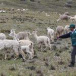 MINAGRI ejecutará labores con autoridades para resguardar Producción Alpaquera