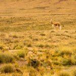Biodiversidad de la Puna en riesgo por Degradación de Pastizales