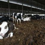 Convertir Estiércol de Vacas en electricidad una Solución en Granja de EE.UU.
