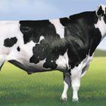 Raza Bovina Holstein en Perú